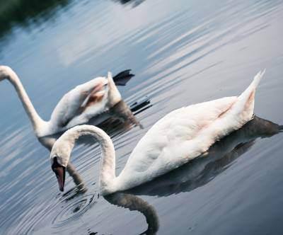 photo-2swan-lake-beautiful