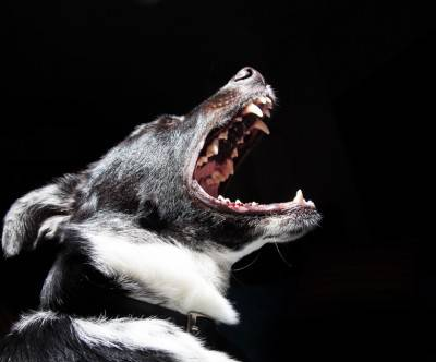 photo-dog-bark-roar-black