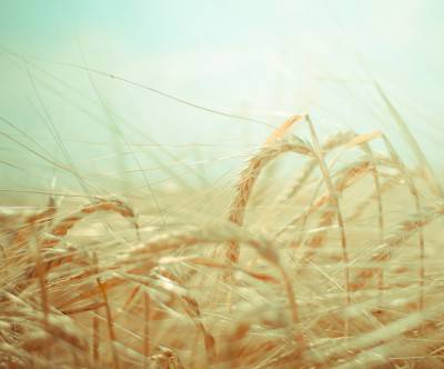 photo-dreamy-grain-field