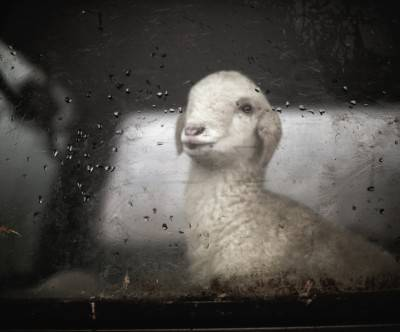 photo-little-sheep-car-glass