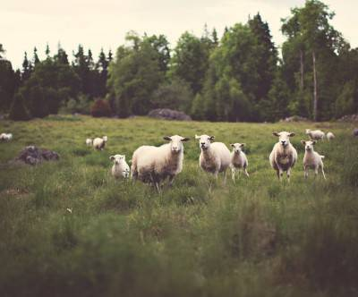 photo-sheep-forest-grass
