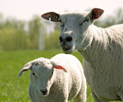 photo-sheep-old-and-young