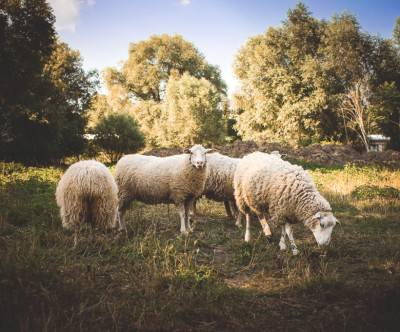 photo-sheep-small-flock