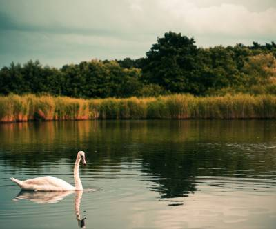 photo-swan-lake-elegance