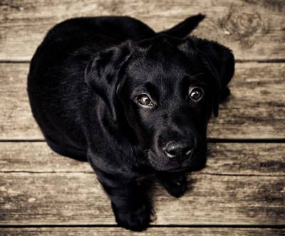photo-black-lab-dog-puppy-wood
