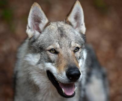 photo-czechoslovakian-wolfdog-face-cool