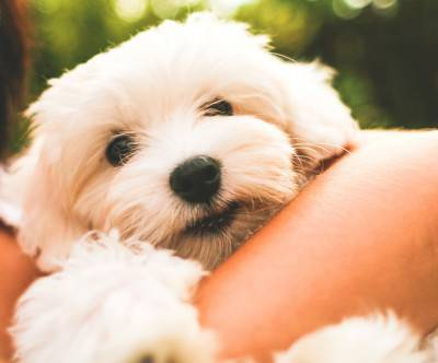 photo-dog-maltese-puppy-woman-cute