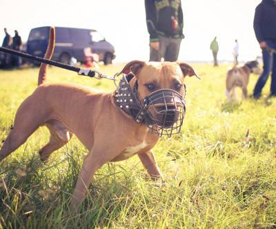 photo-dog-pitbull-coursing-grass-