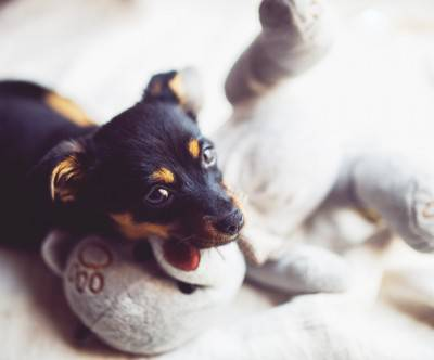 photo-dog-puppy-teddy-bear-bokeh