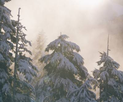 photo-firs-forest-snow-christmas