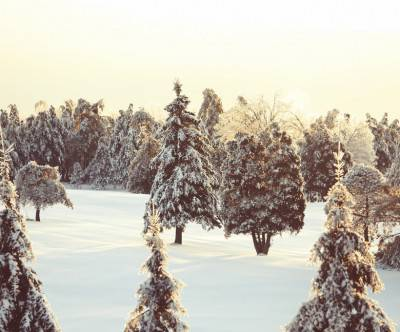 photo-firs-forest-winter-snow