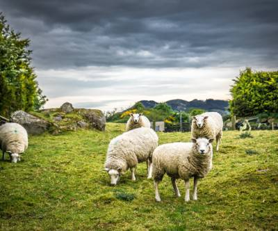 photo-irish-sheep-green-cool