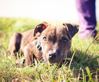 photo-little-pitbull-sit-grass