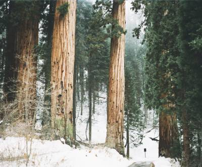 photo-sequoia-bigs-snow-forest