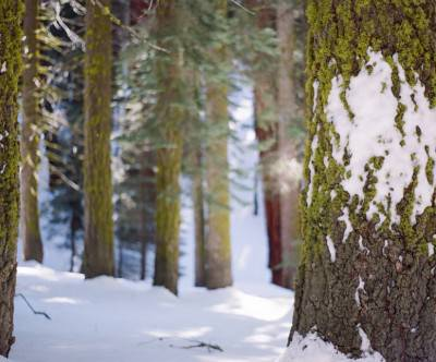 photo-sequoia-snow-forest-winter