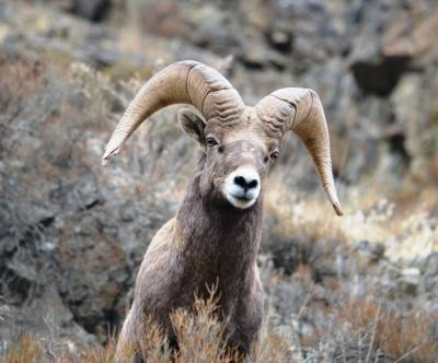 photo-sheep-big-horn-rocky-mountain