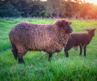 photo-sheep-brown-sunset-beautiful