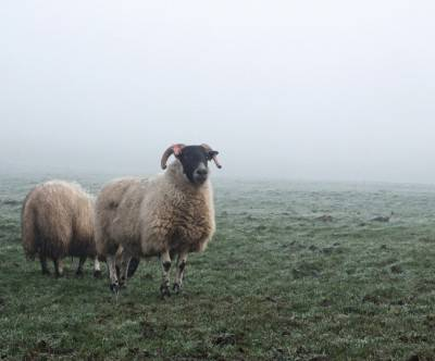 photo-sheep-fog-grass-ram