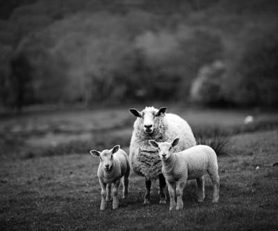 photo-sheep-wales-monochrome-cool
