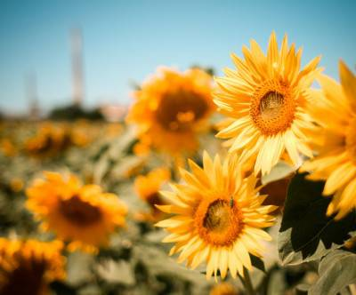 photo-sunflowers-fiels-summer-sky