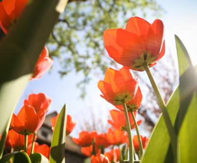 photo-tulips-sunshine-low-angle