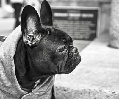 photo-worried-bulldog-monochrome-cool
