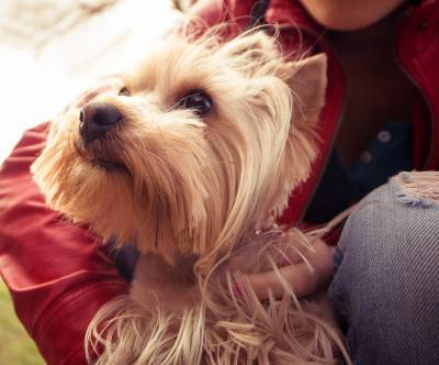 photo-yorkshire-dog-portrait-cute