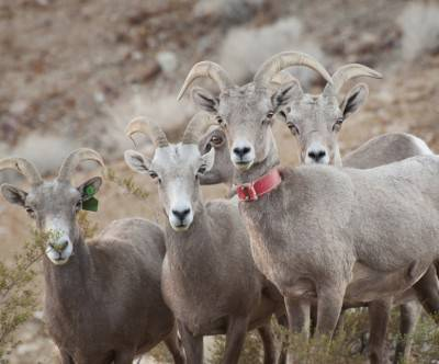 photo-desert-bighorn-sheep