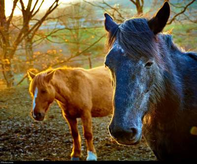 photo-horses-wind-black-brown
