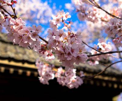 photo-pink-cherry-blossoms-sky-temple