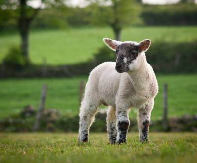 photo-sheep-baby-grass-cute