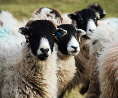 photo-sheep-black-woolly-close-up