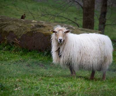 photo-sheep-longhair-spain-grass