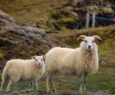 photo-sheep-parent-child-mountain