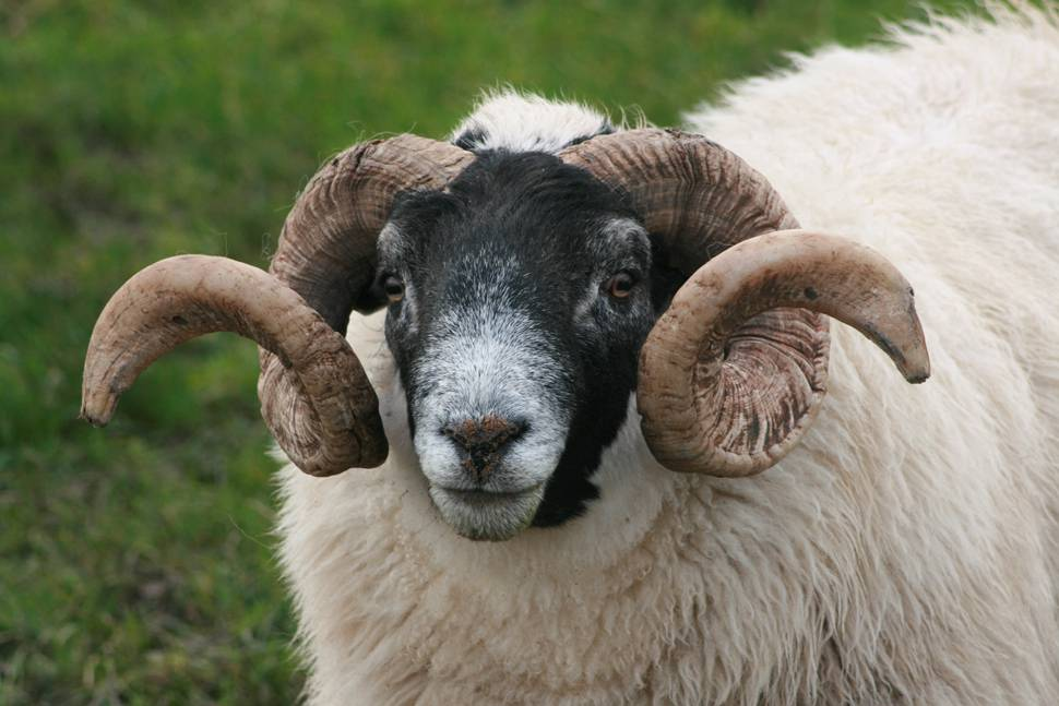 大きな巻き角の羊の顔を撮影した...