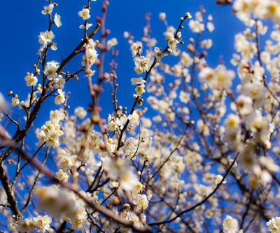photo-japanese-apricot-white-sky