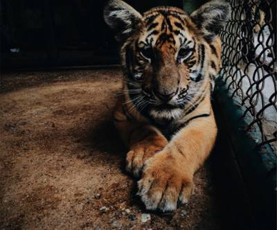 photo-zoo-tiger-aimal-face