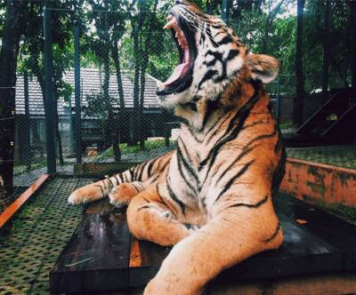 photo-zoo-tiger-aimal-yawn