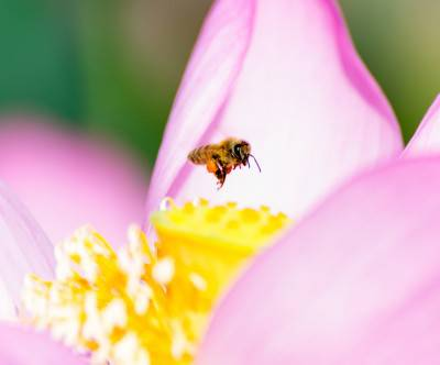 photo-bee-insect-flower nectar