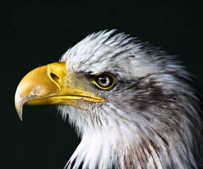 photo-eagle-face-close-up
