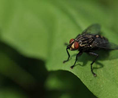 photo-fly-leaves-closeup-insect