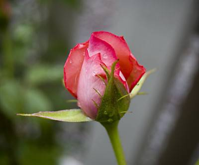 photo-garden-rose-bud-david-salafia