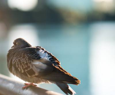photo-bird-pigeon-bokeh